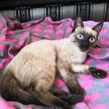 Louna, Chat siamois à adopter