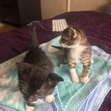 2 chatons à villejuif, Chaton européen à adopter