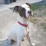 Milka, adorable femelle croisée dogue argentin non lof, Chien à adopter