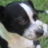 Bounty, petit chien adulte croisé pinscher, Chien à adopter