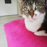 Misette, Chat européen à adopter