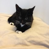 Sokett, petite chatonne pleine de vie, Chaton à adopter