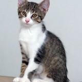 Nioky chaton tigré et blanc, Chaton à adopter