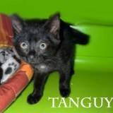 Tanguy chaton noir très bavard, Chaton à adopter