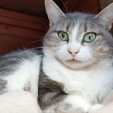 Mew recherche une famille d'accueil, Chat européen à adopter
