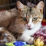 Olivia, Chat européen à adopter