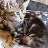 Aldo mignon tigré, Chaton à adopter