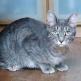 Nacre femelle tigré/gris de 1 an, Chat à adopter