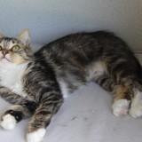 Fanette femelle tigré/blanc poils longs de 1 an, Chat à adopter