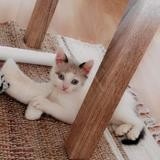 Sweety, Chaton snowshoe, siamois à adopter