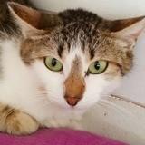 Dana, Chat européen à adopter