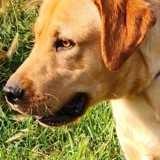 Ruben, Chien labrador retriever à adopter