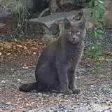 Phoebus, Chat chartreux, européen à adopter