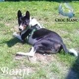Benji, petit mâle basenji, Chien à adopter