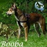 Booba, x husky staff non catégorisé, Chien husky sibérien, staffordshire bull terrier à adopter