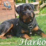 Harko, magnifique rottweiler lof de 7 ans, Chien rottweiler à adopter