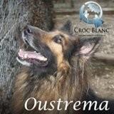 Oustrema, dit ouss, magnifique berger allemand croisé colley, Chien berger allemand, colley à poil long à adopter