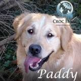 El padilla, dit paddy, golden retriever de 10 ans, Chien golden retriever à adopter