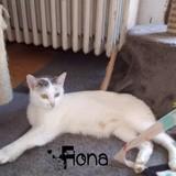 Fiona, Chat européen à adopter