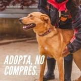 Molly (croisée labrador), Chien à adopter