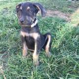 Filao, Chiot à adopter