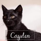 Cayden, Chaton européen à adopter