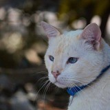 Clarence, Chat siamois à adopter