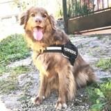Benko, Chiot berger australien, border collie à adopter