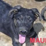 Maufo, Chiot à adopter