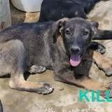 Killo, Chiot à adopter