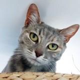 Ataway douce minette tigrée bleue, Chat à adopter