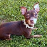 Elyon, petit chien mâle croisé pinscher, Chien à adopter