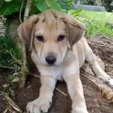 Pablo, chiot mâle croisé créole., Chiot à adopter