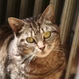 Mishana femelle tigré de 4 ans 1/2, Chat à adopter