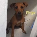 Dingo, Chiot pinscher à adopter