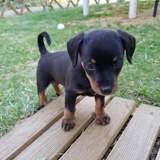 Pepito (croisé pinscher), Chiot pinscher à adopter