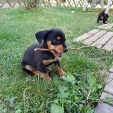 Pita (croisé pinscher), Chiot pinscher à adopter