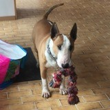 Tyson, Chien bull terrier à adopter