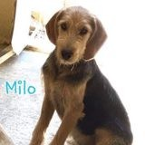 Milo, Chiot griffon belge à adopter