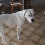 Bobby, Chien dogue argentin à adopter