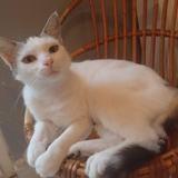 Lola, Chat européen à adopter