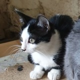 Phong lan, Chaton européen à adopter