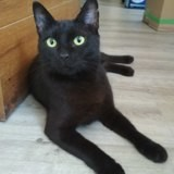 Perle, Chat européen à adopter