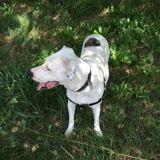 Doudou, Chien dogue argentin à adopter