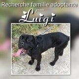 Luigi, Chien cane corso à adopter