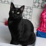 Océlia, Chat à adopter