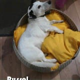 Russel, Chien à adopter