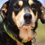 Poker, Chien chien courant espagnol, mastiff à adopter