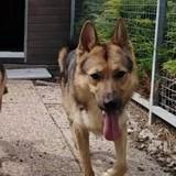 Zorro, Chien berger allemand, chien-loup tchèque à adopter