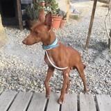 Fideo, un mini podenco, Chiot à adopter
